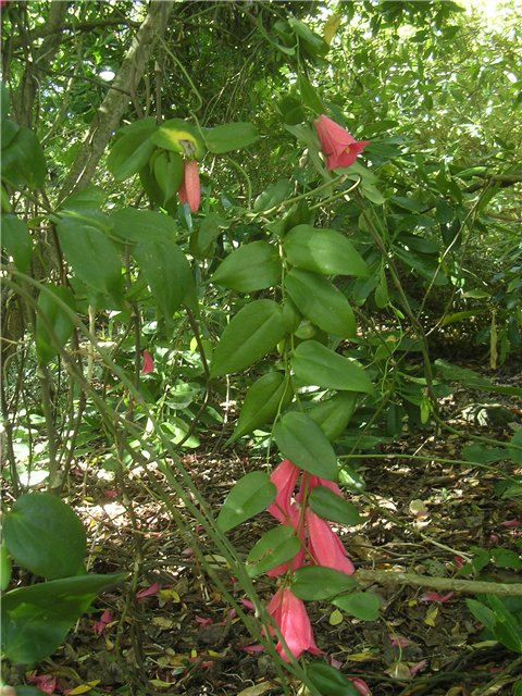 Лапагерия lapageria
